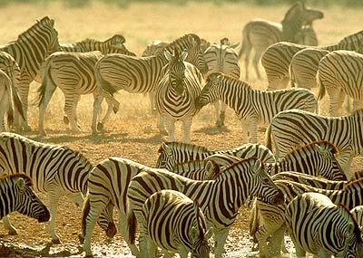 Zebra herd. Image: www.game-reserve.com